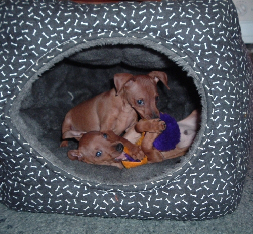 puppies in a bed